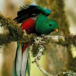 quetzal, bird watching, boquete, panama