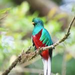 quetzal, bird watching, boquete