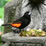 scarlet rumpet bird, birdwatching, panama