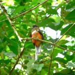 orange bellied trogon, boquete, panama