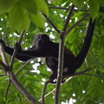 Howler Monkey in Panama, sea kayaking, island trip, boca chica, boca brava hotel
