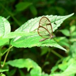 glass-winged butterfly, boquete, panama
