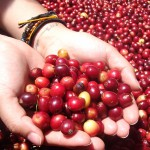 coffee tour in boquete panama