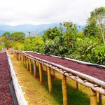 coffee tour, boquete, panama, coffee