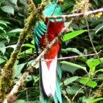 quetzal, bird watching, panama