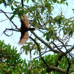 three wattled bellbird, panama