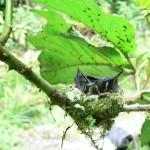 baby birds, boquete, panama