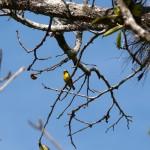 birdwatching, panama