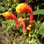 plant in panama