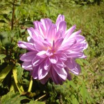 purple flower, panama