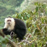 monkey, white faced capuchin, panama