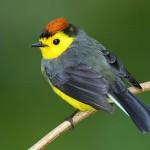 Collared Redstart, bird watching in panama, boquete, birding