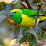 Golden-Browed Chlorophonia, bird watching in panama, boquete, birding