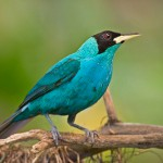 Green Honeycreeper, bird watching in panama, boquete, birding