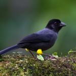 Yellow-Thighed Finch, bird watching in panama, boquete, birding