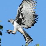 Harpy eagle, bird watching in panama, boquete, birding