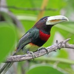 Ivory Billed Aracari, bird watching in panama, boquete, birding