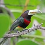Ivory Billed Aracari, bird watching in panama, boquete, birding