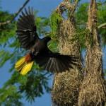 Oropendola, bird watching, birding, boquete, costa rica