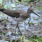 Sandpiper, bird watching in panama, boquete, birding