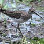 Sandpiper, bird watching in panama, boquete, birding