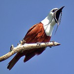 three wattled bellbird, bird watching in panama, boquete,