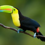 toucan, bird watching in panama, boquete, birding