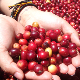 coffee cherries, zip line, boquete, panama, vacation