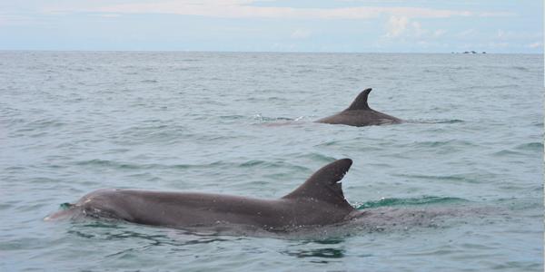 dolphins, island trip, gulf of chiriqui national marine park, boquete, panama, boca chica, boca brava