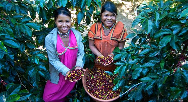 Panama Coffee Pickers Indigenous