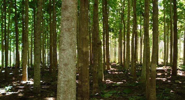 Teak Farm Reforestation Panama, Teak,